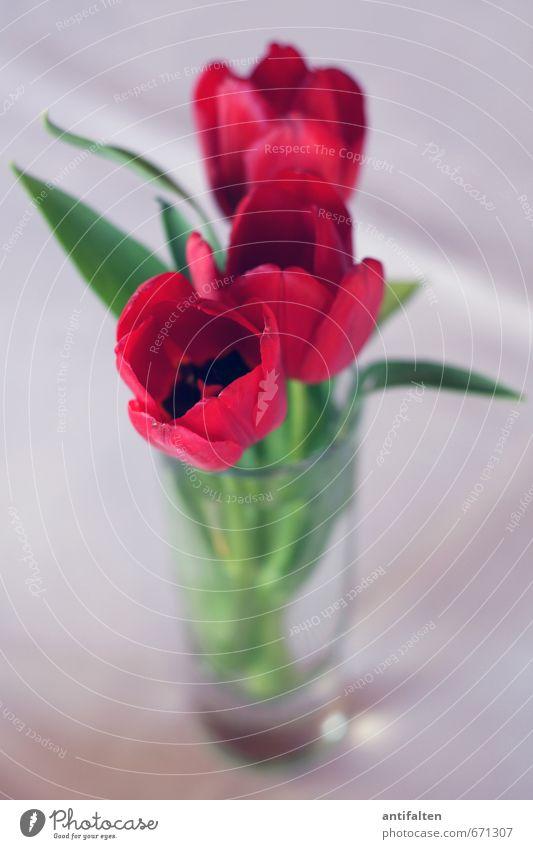 Tülpschen Pflanze grün Blume rot Blatt Blüte Glück grau Stimmung Dekoration & Verzierung Glas Geburtstag stehen Fröhlichkeit Beginn Lebensfreude