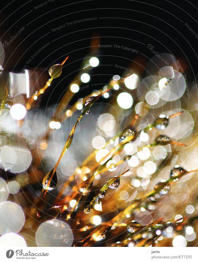 kleines leuchten Pflanze Wasser Wassertropfen Schönes Wetter elegant frisch glänzend hell nass natürlich Natur Moos Tau Farbfoto Außenaufnahme Nahaufnahme