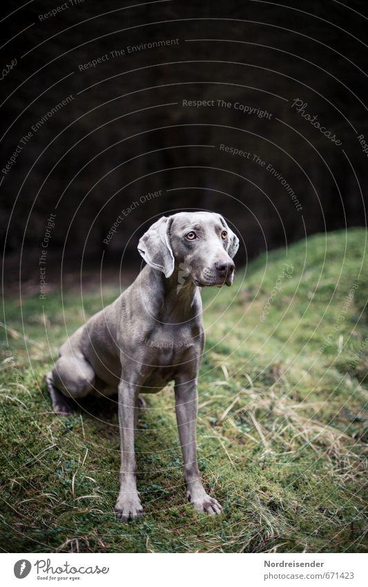 Ungeduldig Leben Jagd Ausflug Gras Moos Wiese Wald Tier Hund 1 warten ästhetisch dunkel muskulös loyal Tierliebe friedlich diszipliniert Neugier Interesse Stolz