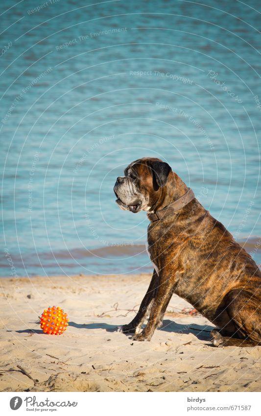 er will doch nur spielen Wasser Frühling Sommer Schönes Wetter Seeufer Strand Meer Haustier Hund Boxer 1 Tier Spielzeug Ball beobachten hocken sitzen warten