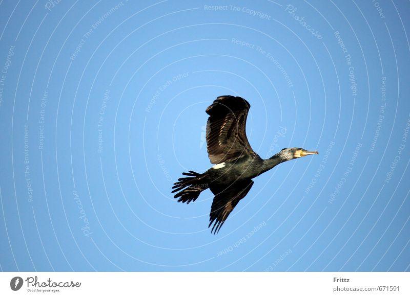 ... alles was Flügel hat fliegt ... der Kormoran Himmel Natur blau Tier schwarz Luft fliegen Vogel Wildtier Schönes Wetter Unendlichkeit Wolkenloser Himmel