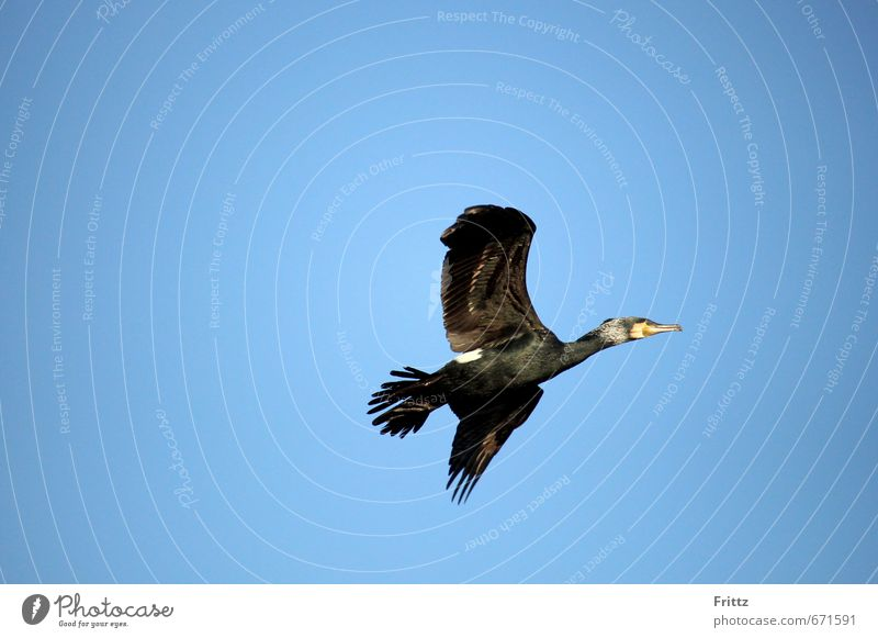 ... alles was Flügel hat fliegt ... der Kormoran Natur Luft Himmel Wolkenloser Himmel Schönes Wetter Tier Wildtier Vogel schwarzer Vogel gekrümmter Schnabel