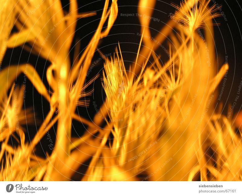 Nachts (II) Beleuchtung Zerealien dunkel gelb Pflanze erleuchten trocken Dürre eingetrocknet Feldfrüchte Ähren Strahlung pflanzlich glänzend Botanik