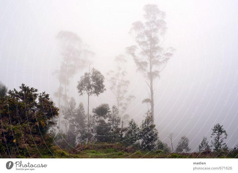 bei Tag und Nebel Natur Landschaft Pflanze Winter Wetter schlechtes Wetter Regen Baum Sträucher Wald grau grün Eucalyptus Farbfoto Gedeckte Farben Außenaufnahme