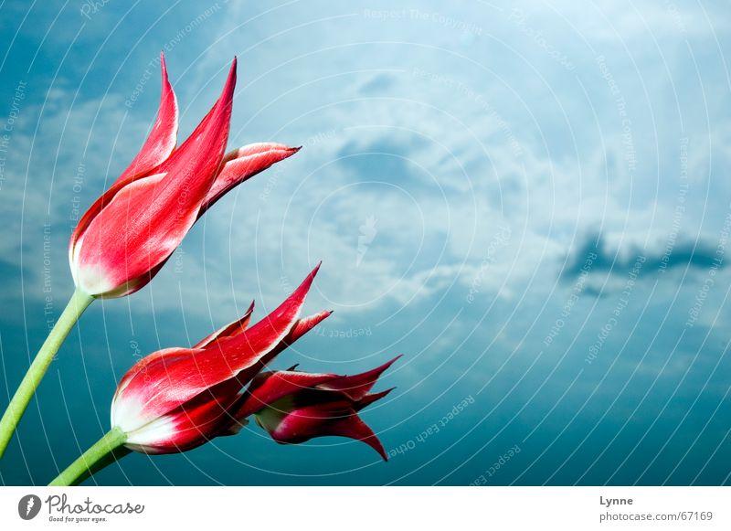 hoch hinaus Tulpe rot weiß grün Wolken Blume dunkel Himmel blau Natur hell Gewitter mehrfarbig