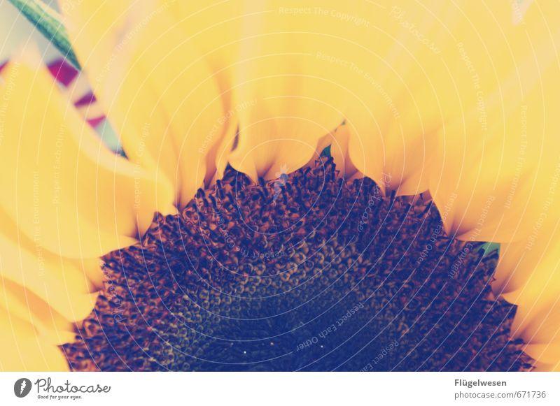 Sonnenblumenpower Ferien & Urlaub & Reisen Sommer Lächeln Sonnenblumenkern Sonnenblumenfeld Sonnenblumenöl Blume Geruch sommerlich Sommerabend Sommerferien