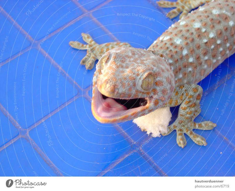 Tucce Gecko Nahaufnahme Echsen Echte Eidechsen Thailand bissig gefährlich Wildtier