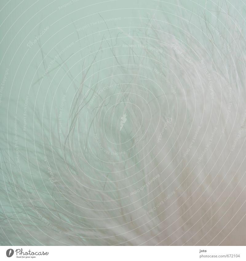 puschel Pflanze Frühling Winter Blume kuschlig wild türkis weiß Design Dekoration & Verzierung weich zart sanft Faser haarig Linie hellgrün leicht