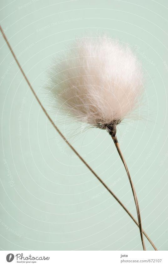 soft Natur Pflanze Frühling Sommer Gras Wollgras kuschlig modern wild weich türkis weiß Leichtigkeit Wachstum leicht luftig hell-blau getrocknet