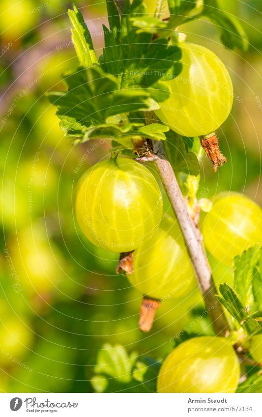 Stachelbeeren am Busch Natur grün Sommer Gesundheit natürlich Garten Wachstum frisch genießen lecker Duft saftig stachelig Nutzpflanze sauer