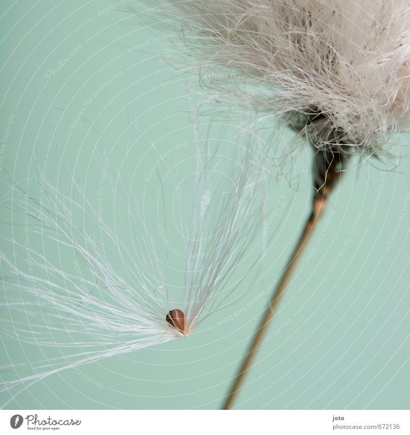 Samen Pflanze Sommer Herbst Blume Sträucher hängen natürlich türkis weiß Design einzigartig Vergänglichkeit verlieren Wachstum Wandel & Veränderung