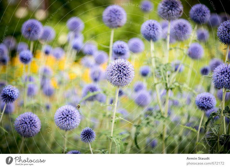 Sommerliches Distelfeld Natur blau schön grün Farbe Pflanze Wiese Stimmung Feld Wachstum Frieden Duft positiv stachelig Frühlingsgefühle