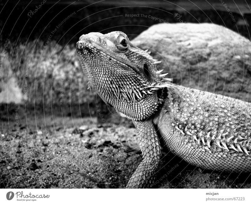 Schnuckiputzie Tier Sand Haustier Schuppen Zoo 1 dunkel exotisch groß grau schwarz weiß achtsam Wachsamkeit Bart-Agame Agamen bewachen Höhle Terrarium gefangen