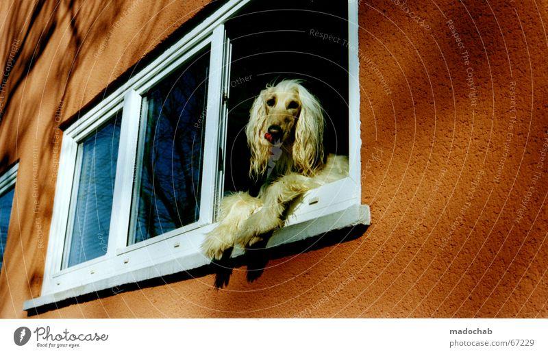 ERAHNTE ÄHNLICHKEIT Hund Einsamkeit Tier Fenster Wand Aussicht genießen langhaarig Mähne Futter prätentiös verwöhnen