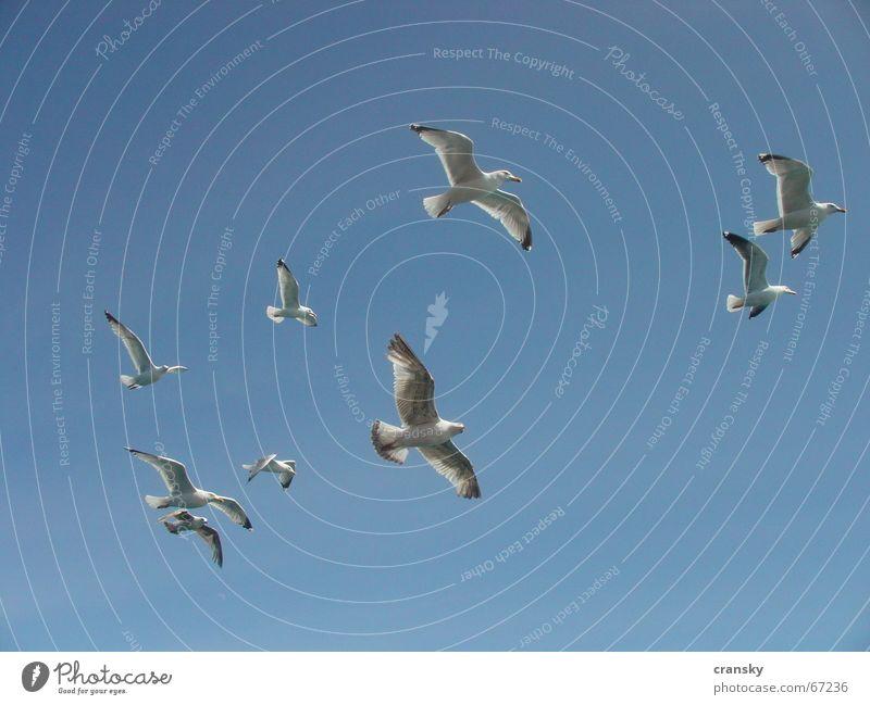 Möwen auf 11 Uhr Himmel blau Ferien & Urlaub & Reisen Sommer Ferne Freiheit Vogel fliegen Luftverkehr Abenteuer Sommerurlaub Wolkenloser Himmel Fernweh