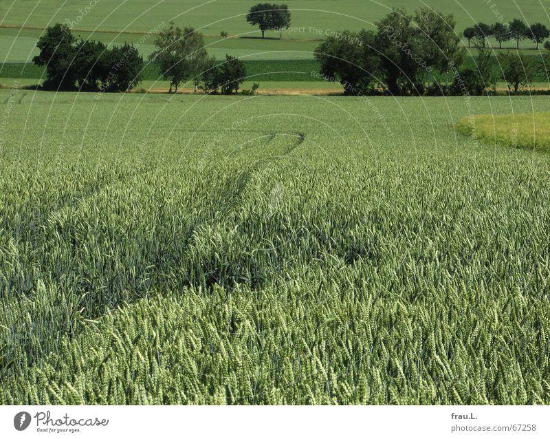 grün Degersen Getreide ruhig Sommer Landwirtschaft Forstwirtschaft Landschaft Baum Sträucher Feld Dorf Wege & Pfade Traurigkeit Einsamkeit fruchtbar Ähren