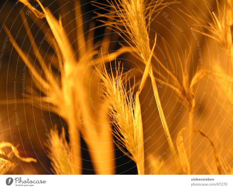 Nachts (III) Beleuchtung dunkel gelb Pflanze erleuchten trocken Dürre eingetrocknet Feldfrüchte Zerealien Ähren Botanik Pflanzenteile Umwelt glänzend Samen