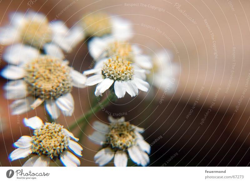 niedliche Korbblütengewächse Kamille Blüte Pflanze Heilpflanzen Sommer Garten Berge u. Gebirge Alpen Gesundheit