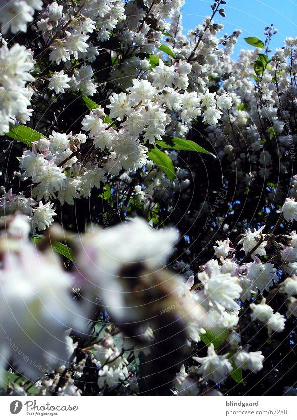 Blütenmeer Biene Unschärfe Frühling weiß grün Blütenblatt austreiben Vordergrund aufwachen Freizeit & Hobby Lebensfreude Mai scharfe biene wär mir lieber Himmel