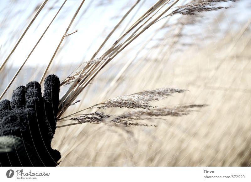 Hand, die Schilf berührt Nutzpflanze Wildpflanze Küste beobachten schwarz Handschuhe Spazierweg Schilfrohr verborgen Unterholz Farbfoto Außenaufnahme
