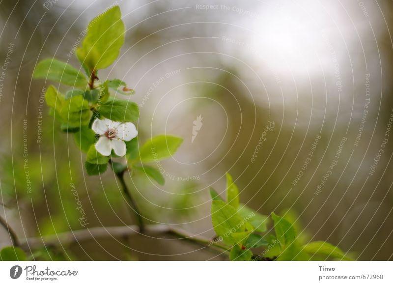 Blüte an Kirschzweig Natur Pflanze Frühling braun grün weiß Unschärfe Apfelblüte Blatt frisch Zweig zart Frühblüher Farbfoto Außenaufnahme Nahaufnahme