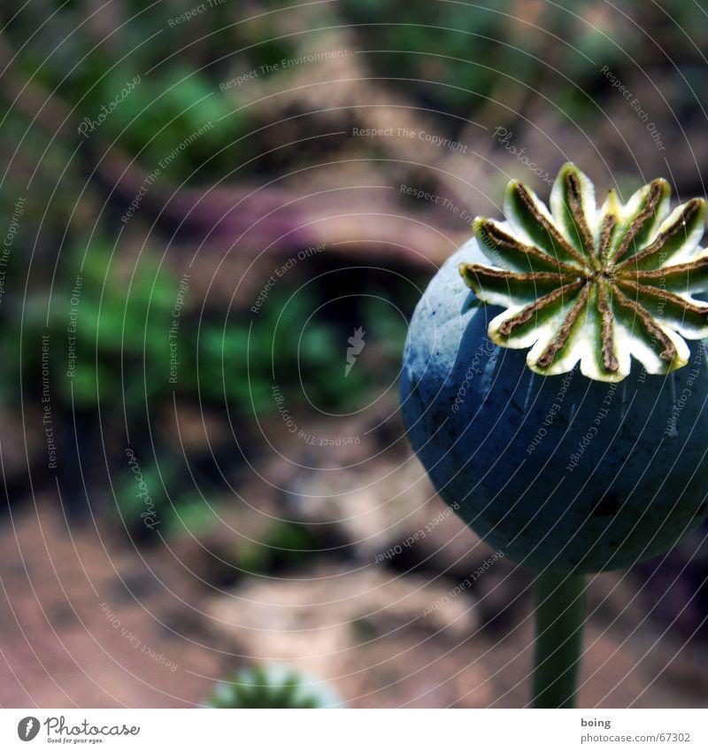 süße Schnecke Schnecke Natur Blume Herbst Freizeit & Hobby Vergänglichkeit Mohn verblüht Weinbergschnecken Thanatos Kräuterbutter