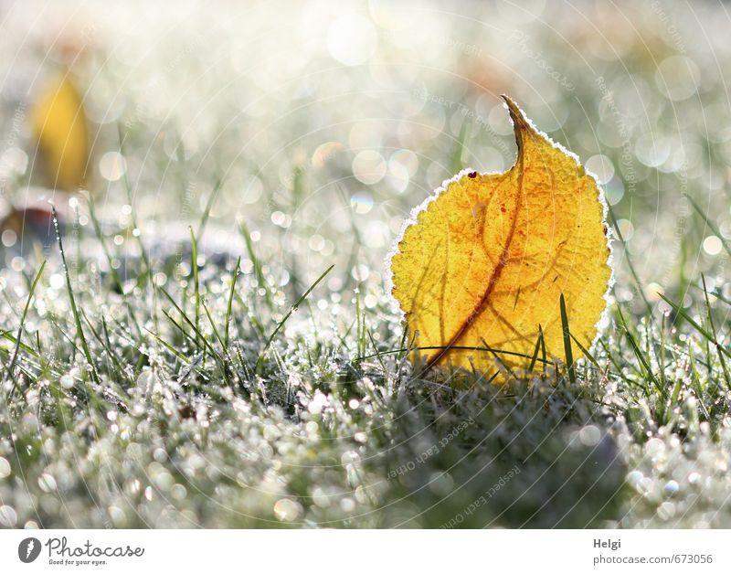 Winterjuwelen... Umwelt Natur Pflanze Schönes Wetter Eis Frost Gras Blatt Grünpflanze Garten frieren glänzend stehen dehydrieren ästhetisch außergewöhnlich