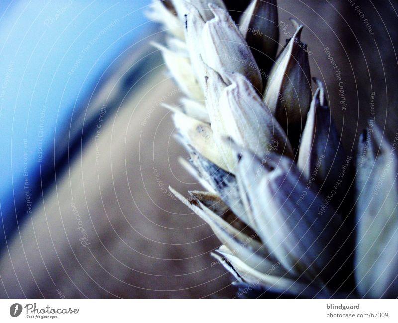 Ährenhaft Weizen Mondschein Sommer Physik Schweiß Makroaufnahme Kaugummi Feld Horizont umfallen Korn Getreide Ernte hochsommer Wärme hell bläulich Ausflug