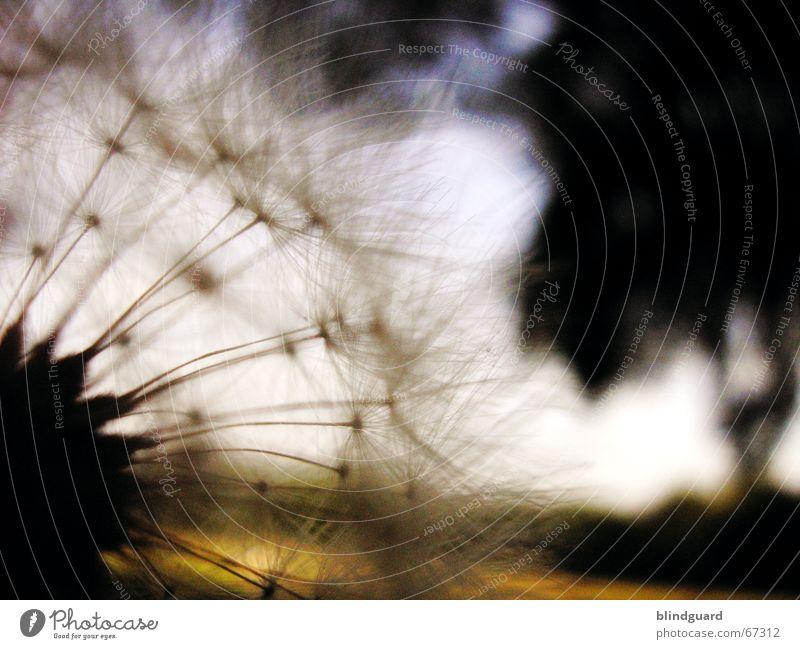 Last Summer-Nights-Dream Sommer dunkel träumen Denken Löwenzahn genießen Samen Fallschirm