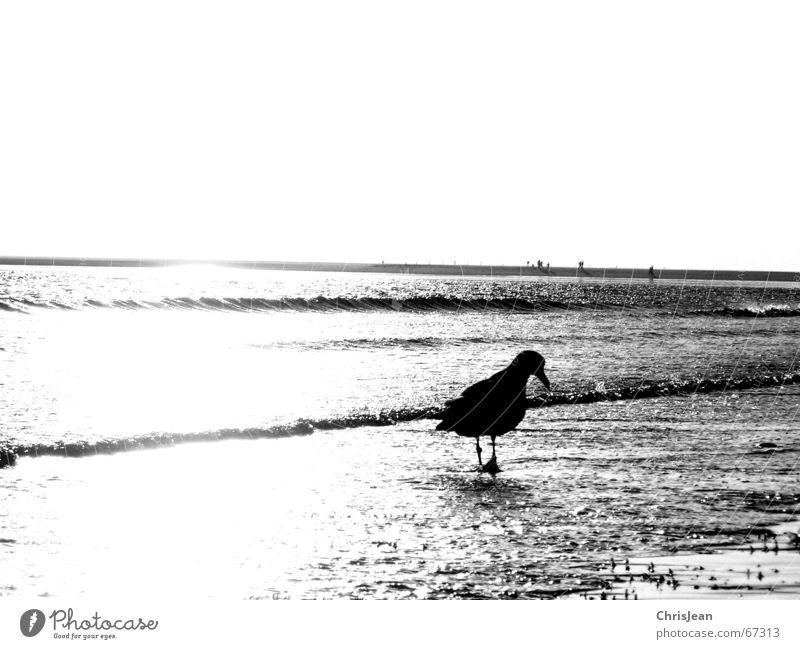 Alone Einsamkeit Möwe Strand Meer Suche Nahrungssuche Borkum alone Sand Schwarzweißfoto laufen