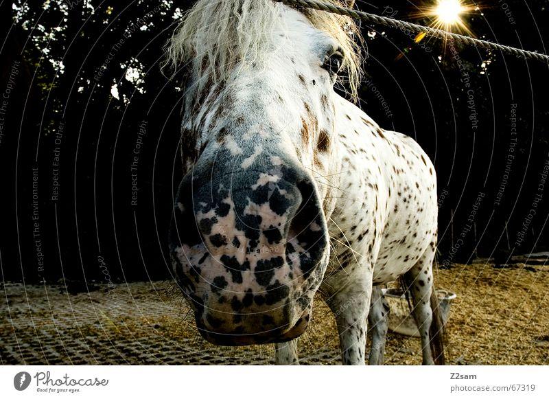 schau mir in die augen stute Pferd Tier Weide Stroh frontal Abend schnautze Pony schätti reitstall