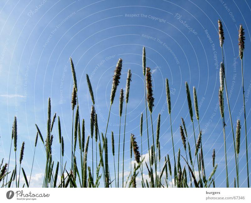 Gräser Himmel grün blau Sommer Wolken Wiese oben Gras Luft Feld Wind Wachstum leicht streben