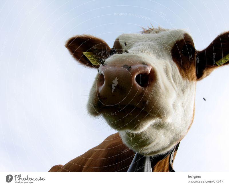 Na und? Kuh Rind Landwirtschaft Bauernhof Schnauze Froschperspektive Wiese braun Länder Himmel Nase fliegen blau cow country nose Außenaufnahme