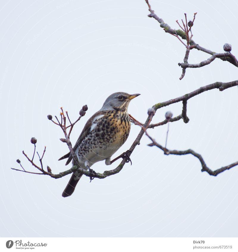 Beerenklau Natur Wolkenloser Himmel Winter Schönes Wetter Baum Mehlbeere Ast Zweig Beerensträucher Garten Park Tier Wildtier Vogel Drossel Wacholderdrossel