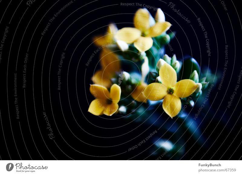 Fette Henne #01 dunkel Blume Blüte Trauer Schwarzlicht kalt Fetthenne Schatten kontast bleach Blütenknospen