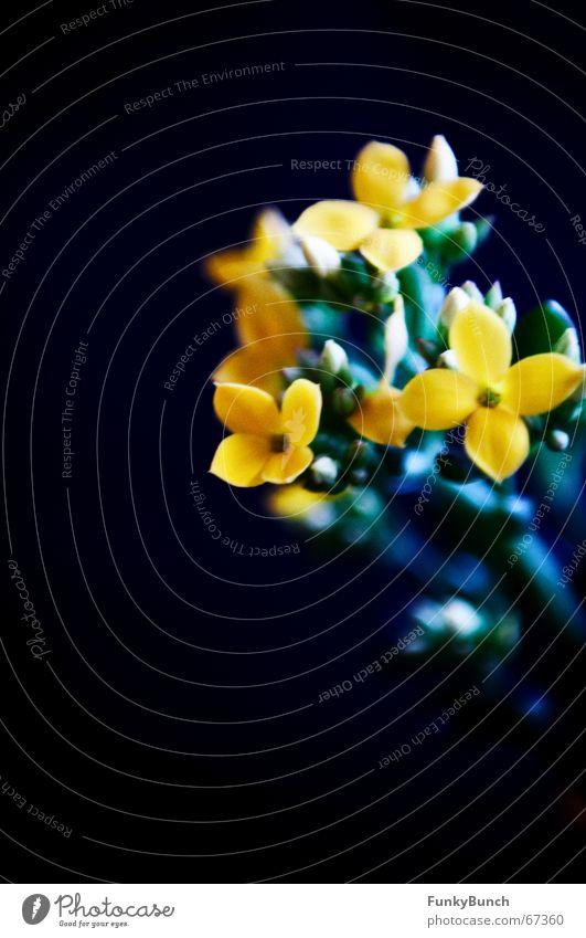 Fette Henne #02 dunkel Blume Blüte Trauer Schwarzlicht kalt Fetthenne Schatten kontast bleach Blütenknospen