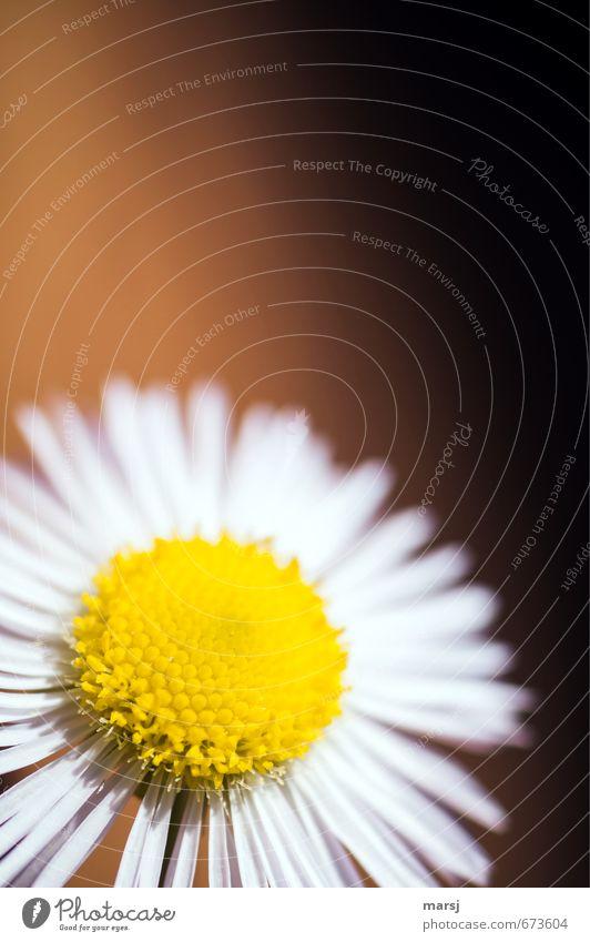 Sonnenscheinchen Natur weiß Pflanze Sommer Blume gelb Leben Herbst Frühling Blüte Glück träumen elegant Zufriedenheit leuchten Wachstum