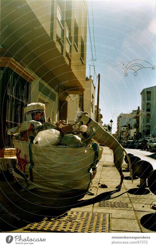 - stroiner - Sonne Hund dünn Müll Spanien Nahrungssuche Windhund