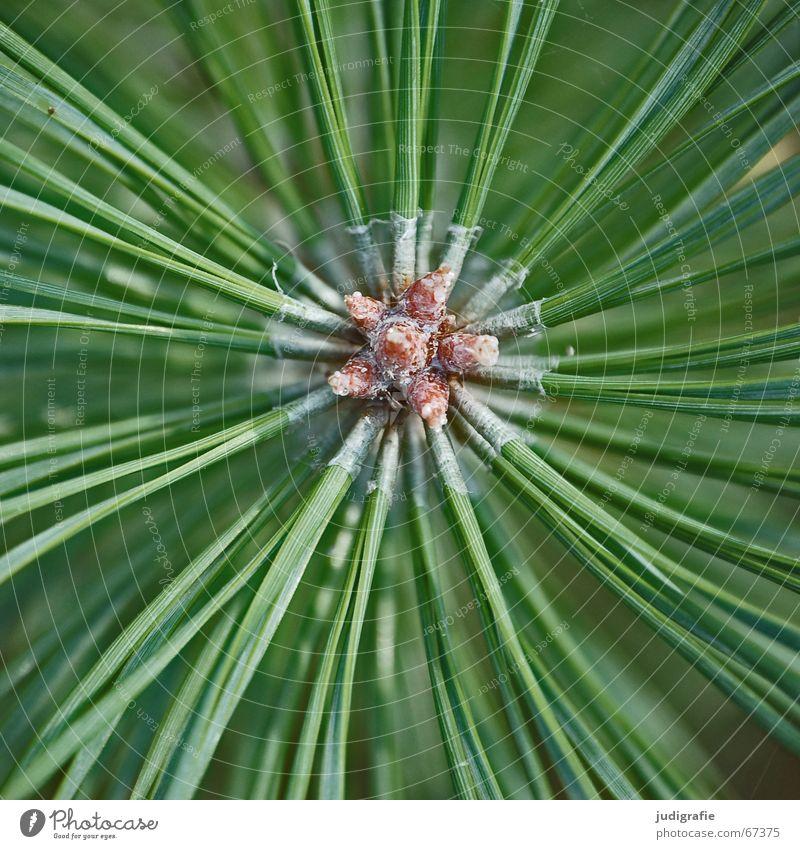 Stern Natur grün Pflanze Sommer Baum Beleuchtung Linie braun Sträucher Stern (Symbol) Zweig stachelig Kiefer Stachel Nadelbaum Tannennadel