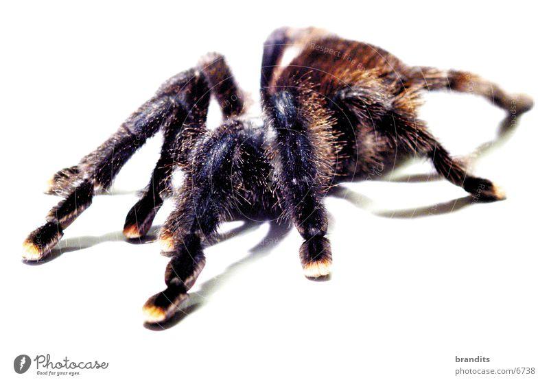 my spider Spinne Vogelspinne Tier Insekt Natur Angst