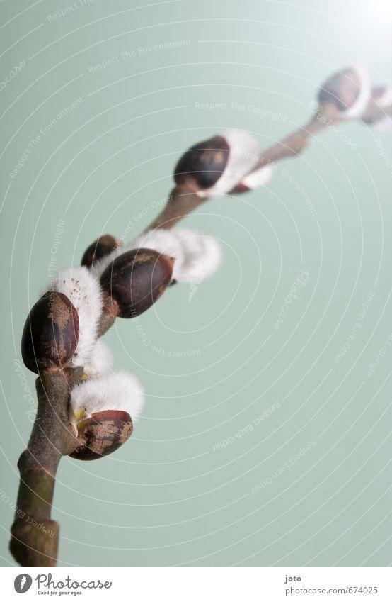 weidenkätzchen III Duft Dekoration & Verzierung Natur Pflanze Frühling Sträucher Blüte Blumenstrauß Blühend Wachstum kuschlig positiv weich türkis weiß Idylle
