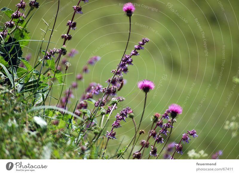 Auf der Alm da gibt's koa Sünd! Wiese Blume Gras Bundesland Tirol Österreich Bergwiese Sommer Ferien & Urlaub & Reisen wandern Bergsteigen blüten violett