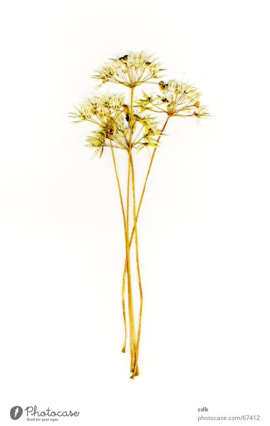 viererlei Natur Pflanze Farbe Sommer Blume gelb Blüte Gefühle Gras mehrere einzeln trocken zart Blumenstrauß Stengel Samen