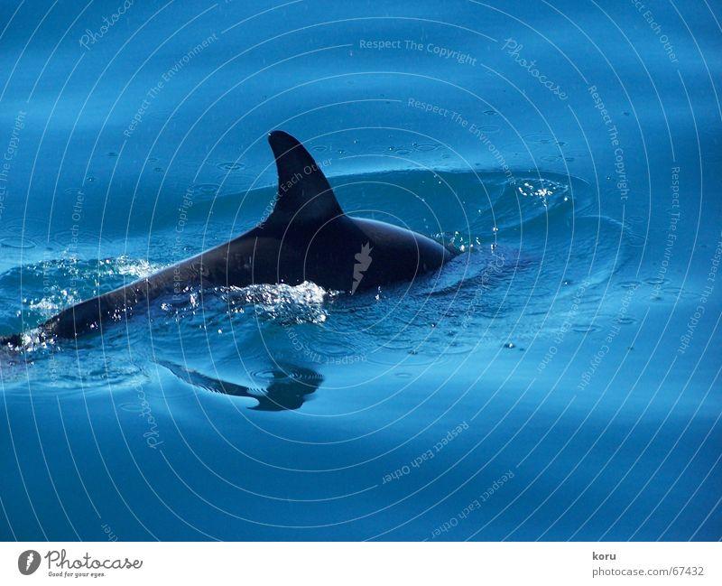 Deep Blue Delphine ruhig tauchen langsam Neuseeland Reflexion & Spiegelung kalt frisch Außenaufnahme Schwimmhilfe Ferne Freude Wasser Leben blau Glück