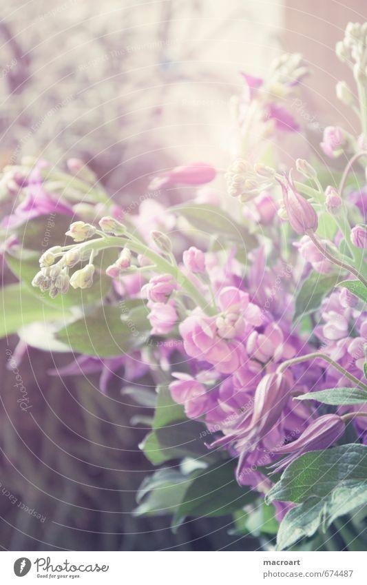 Frühlingsboten grün Pflanze Blume Blatt Blüte rosa Blühend violett Floristik pflanzlich