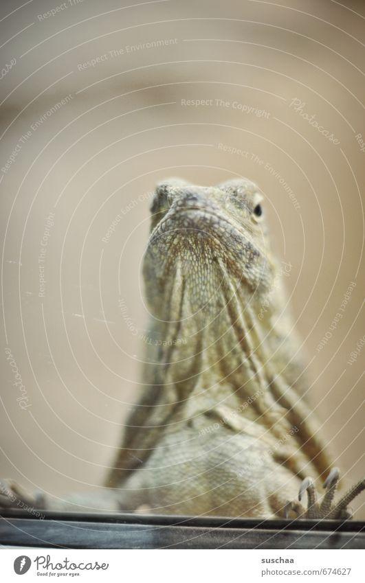 betrachtung der betrachter exotisch Tier Tiergesicht Schuppen Zoo 1 beobachten Blick Echse Reptil Kragenechse Falte Krallen Gedeckte Farben Innenaufnahme