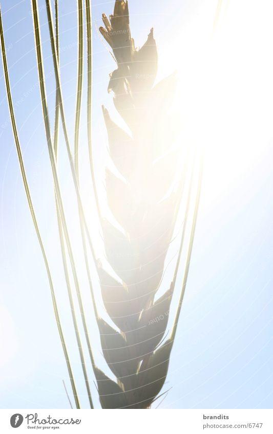 Gedeihendes Korn Weizen Blüte Feld Licht Sonne