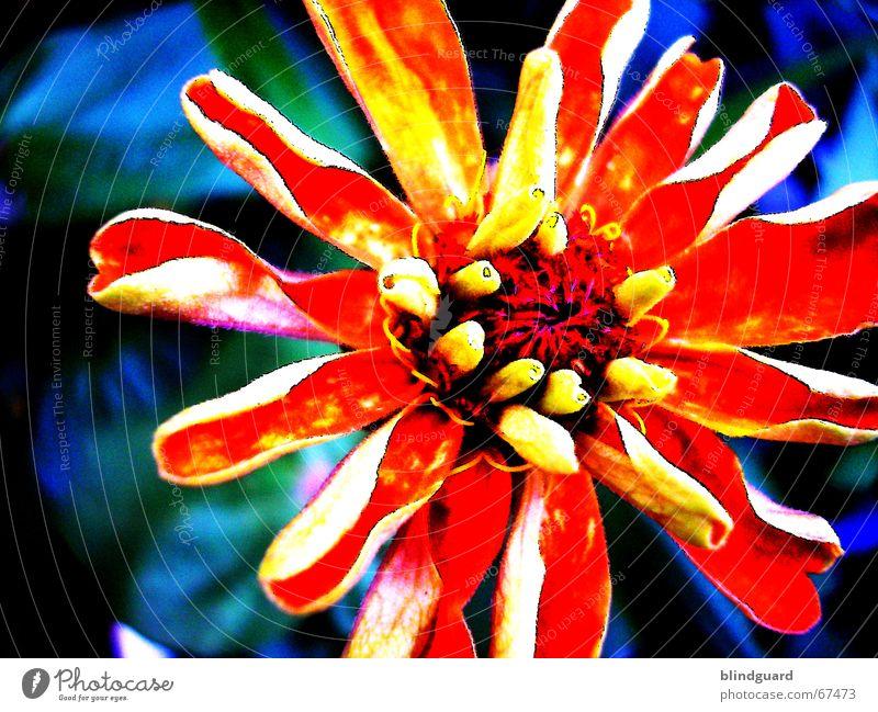 Leuchtende Farben Blume Blüte gelb Blühend bearbeitet oragne Garten Natur verblüht stilisiert verfremdet sättigung Kontrast leuchten