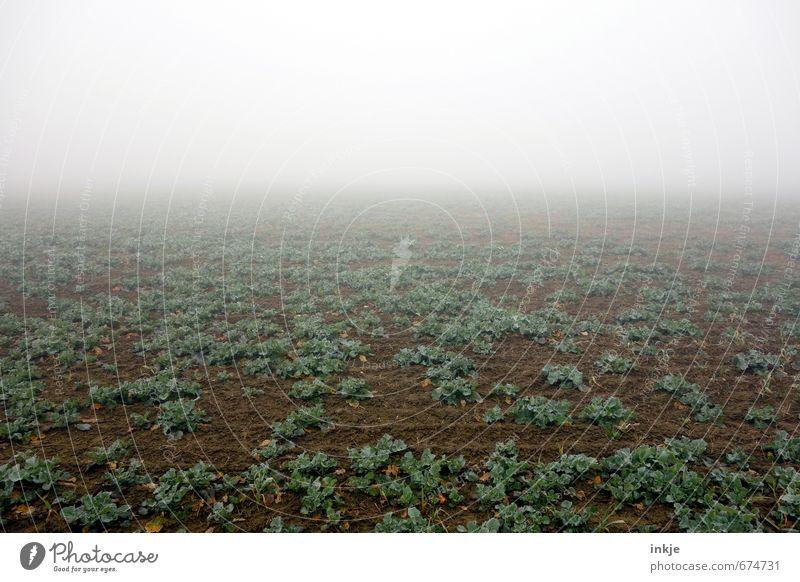 früh aufs Feld | spooky agriculture Landwirtschaft Forstwirtschaft Erde Luft Horizont Herbst Winter Klima schlechtes Wetter Nebel Pflanze Nutzpflanze