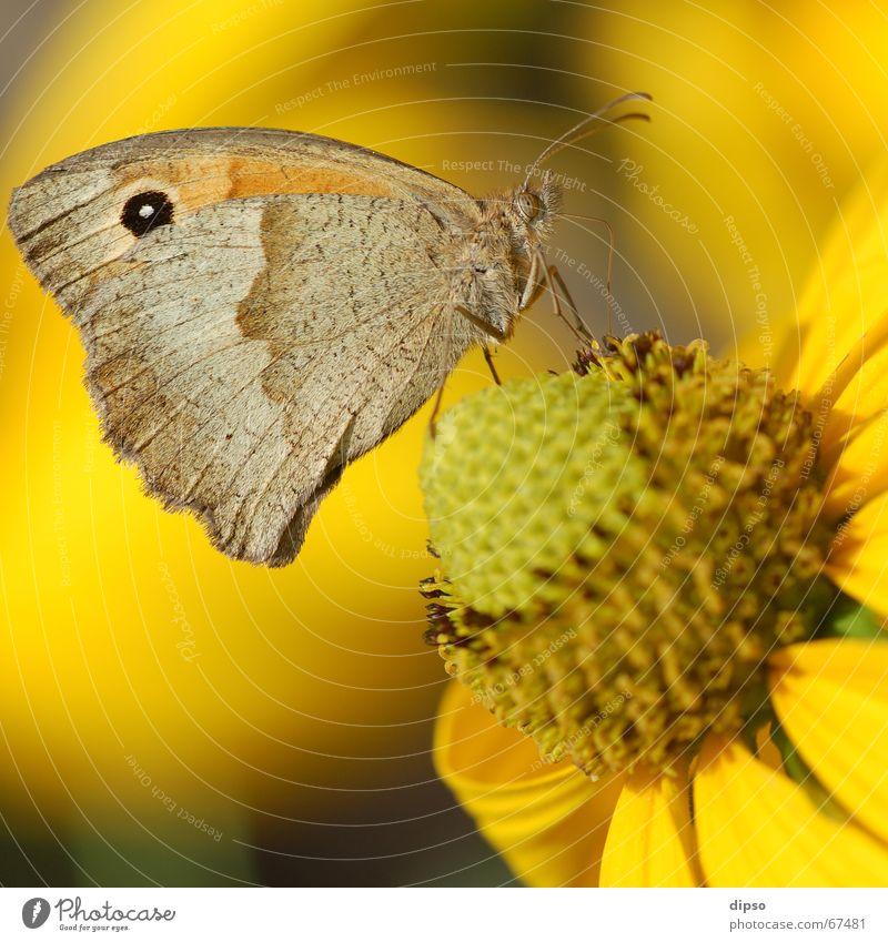Maniola Jurtina Schmetterling Ochsenauge Blüte gelb Staubfäden Sommer Rüssel saugen Fühler leicht filigran Insekt Nektar Pollen Stempel Sonne sauger Auge Flügel